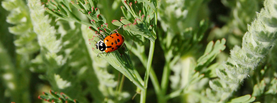 Biodynamic farming... even the ladybug has an honored role on the farm.